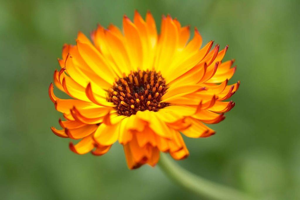 цветки календулы - одно из лучших средств от эпидермофитии