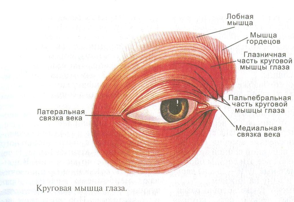 убрать синяки под глазами - анатомическое строение